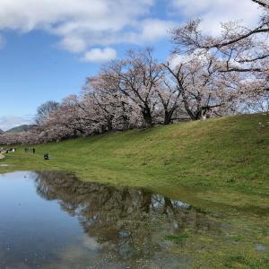 八幡の背割堤へ花見ラン30km