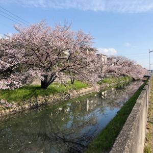 今年桜見納め