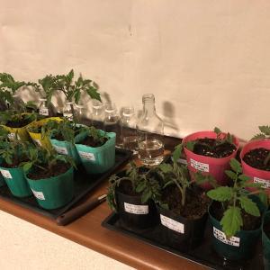 ミニトマトの苗代が高いので、脇芽の挿し木で増やす方法を色々と試してみた。