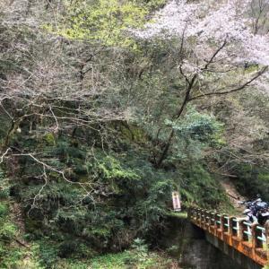 林道を走るとそこはまだ桜の季節でした