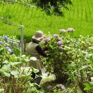 紫陽花剪定