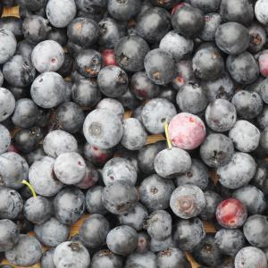 ブル-ベリ-初収穫