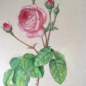 ルドゥーテのバラ模写(赤毛のアン)*ペンと色鉛筆画