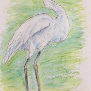 小鷺ー水彩色鉛筆で描く