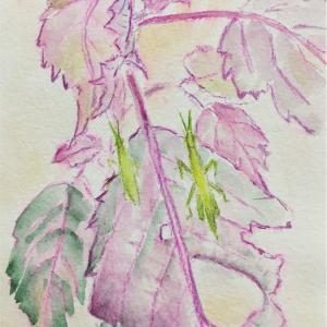 紫蘇2(古今和歌集)