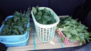 ホウレンソウどっさり収穫