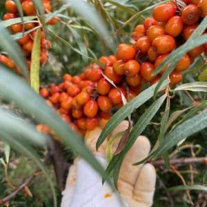 シーベリーの収穫期