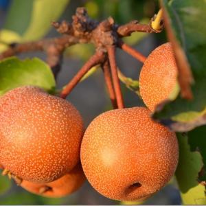 教えてもらう前と後「梨とさんまの鮮度の見分け方」9月10日