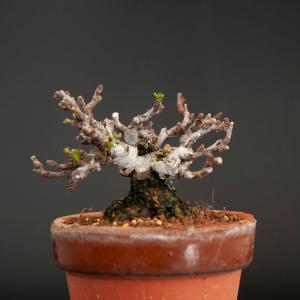 長寿梅の植え替え