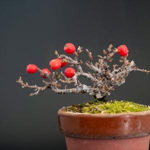 苔桃カマツカ