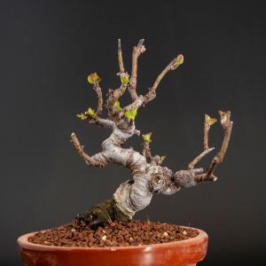 深山海棠の植え替え