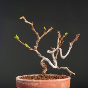 ツルウメモドキの植え替え