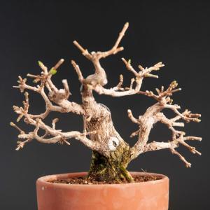 匂い楓の植え替え