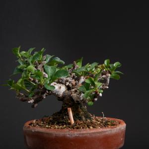 枝枯れした長寿梅 – 徳南園盆栽教室 其の参