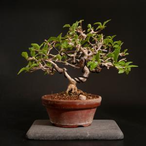 匂い楓の剪定 – 徳南園盆栽教室 其の壱