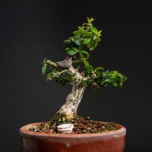 コマユミの剪定 – 徳南園盆栽教室 其の弐