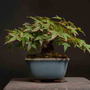 楓 – 徳南園盆栽教室 其の五