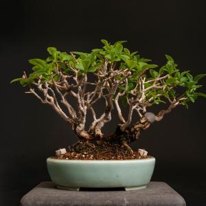 イボタ – 徳南園盆栽教室 其の六