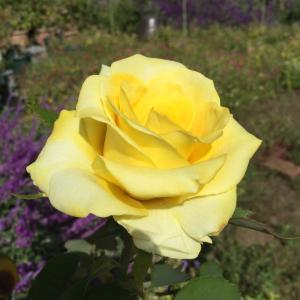 花壇用の優秀品種、ゴールデンメダリオン