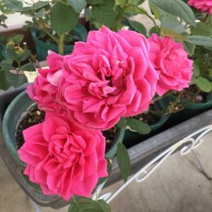咲いてるミニバラ、剪定したミニバラ  /ケルナーフローラの誘引
