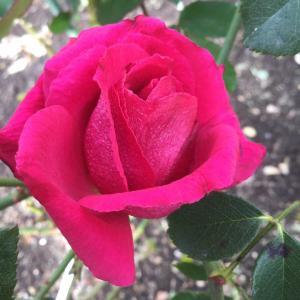ローズうらら/氷の薔薇が凍ってる