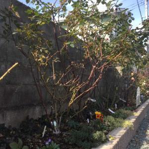 木立バラの葉っぱむしり50本/ミニバラ  ミク