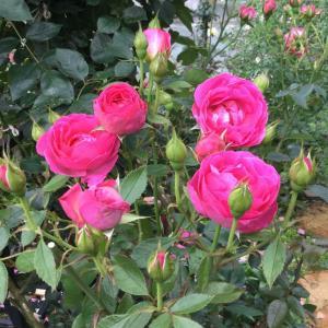 雨に強いジェネラシオンジャルダン/グレビレアの花