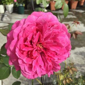 暑くても頑張ってるバラ/最後の紫陽花