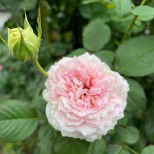 トロイメライ/秋の訪れ、秋明菊の開花