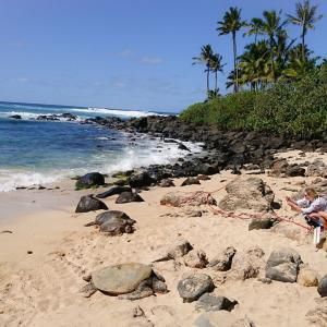 ハワイ ハレイワのビーチで亀さんに遭遇!ドキドキ!