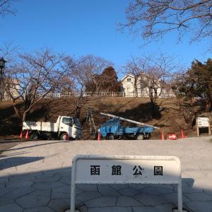 雪のない函館公園で桜の剪定