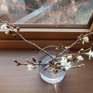 窓辺の桜の小枝、春が来た!