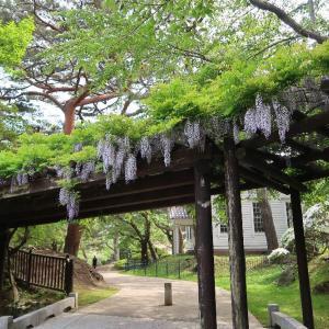 函館公園の藤棚、涼やかな木陰で