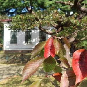 函館公園をひとまわり、サクラの紅葉始まる