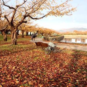 五稜郭公園のサクラ、晩秋の彩り