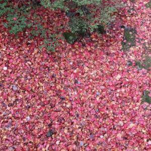 嵐のあと、函館公園の艶やか散り紅葉