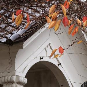 函館公園のサクラ、最後の一葉風と胴吹き紅葉