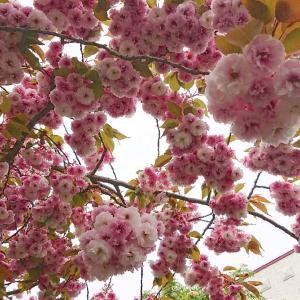 シーズン最後の桜、街角の普賢象