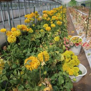 地元農園で、ラナンキュラスの花摘み体験