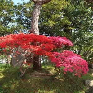 函館公園のつつじが色鮮やか