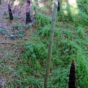 新緑の函館公園で、竹の秋とたけのこ