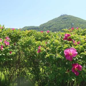 緑の島のハマナス、じっくりウォッチング