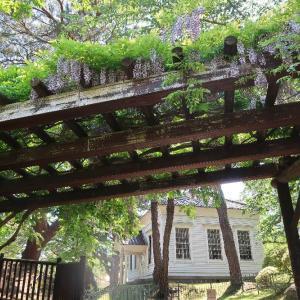 函館公園の涼やかな藤棚