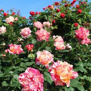 旧イギリス領事館のバラがひっそり花盛り