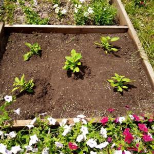 プリズムサンデーミックスを花壇に定植