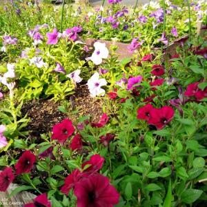 梅雨明け後の花壇