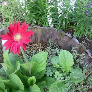 ガーベラ 今年2回目の開花
