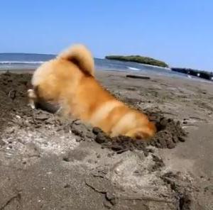 体全体が埋まるほど穴を掘ってしまうイッヌ