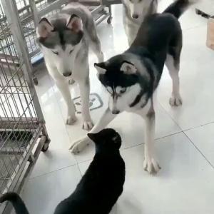 3体のハスキー犬、ネコ一匹にびびってしまうwwwwww