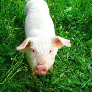 ちっこい子豚って可愛すぎない?